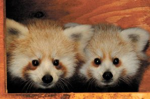 Red Panda Exhibit,Paddlock Zoo